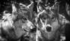 Le Monde_21.01.21_Le loup animal sauvage controversé - application/pdf